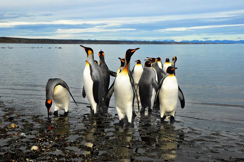 Penguins in Chile's Tierra del Fuego