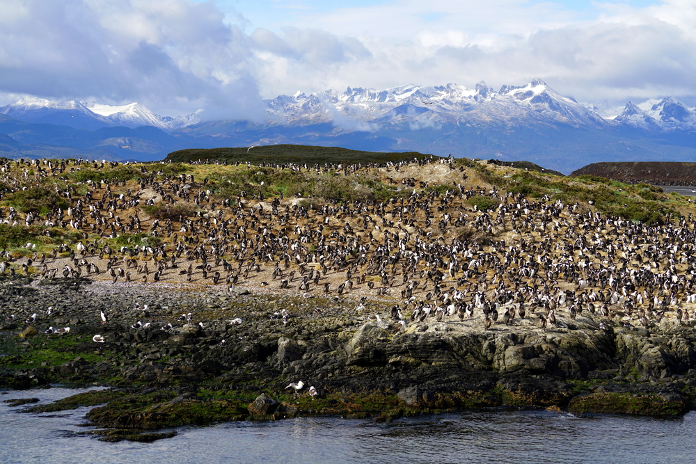 An Albatross colony by the ocean in Ushuaia, Argentina