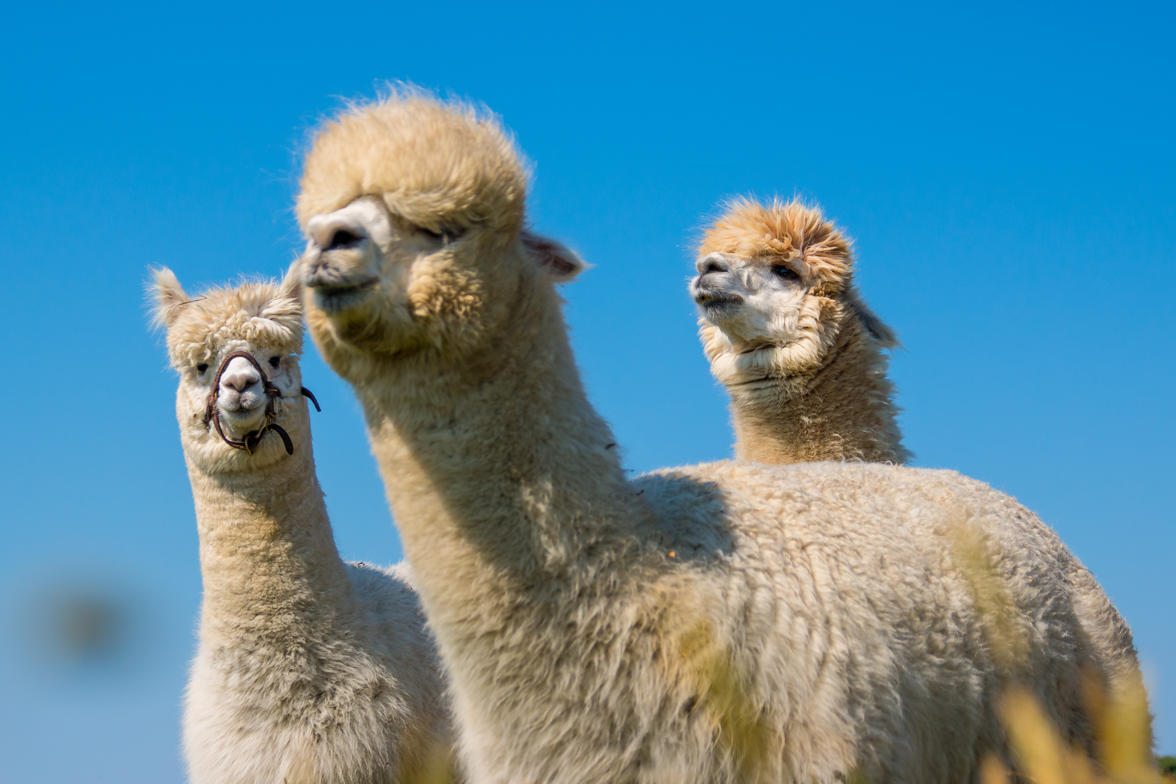 3 alpacas standing with the blue sky in the background in Peru