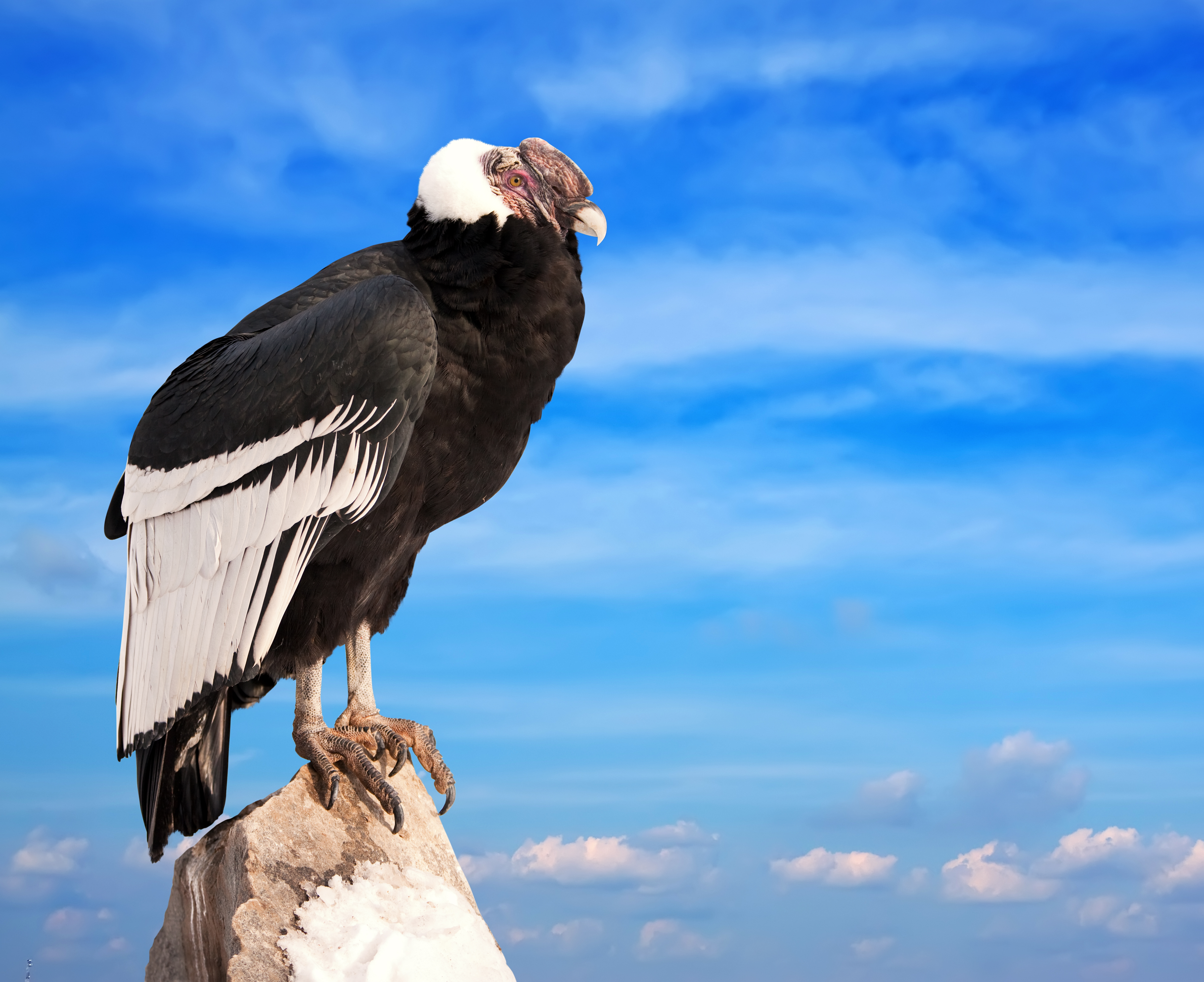 Andean condor sitting on rock against sky background