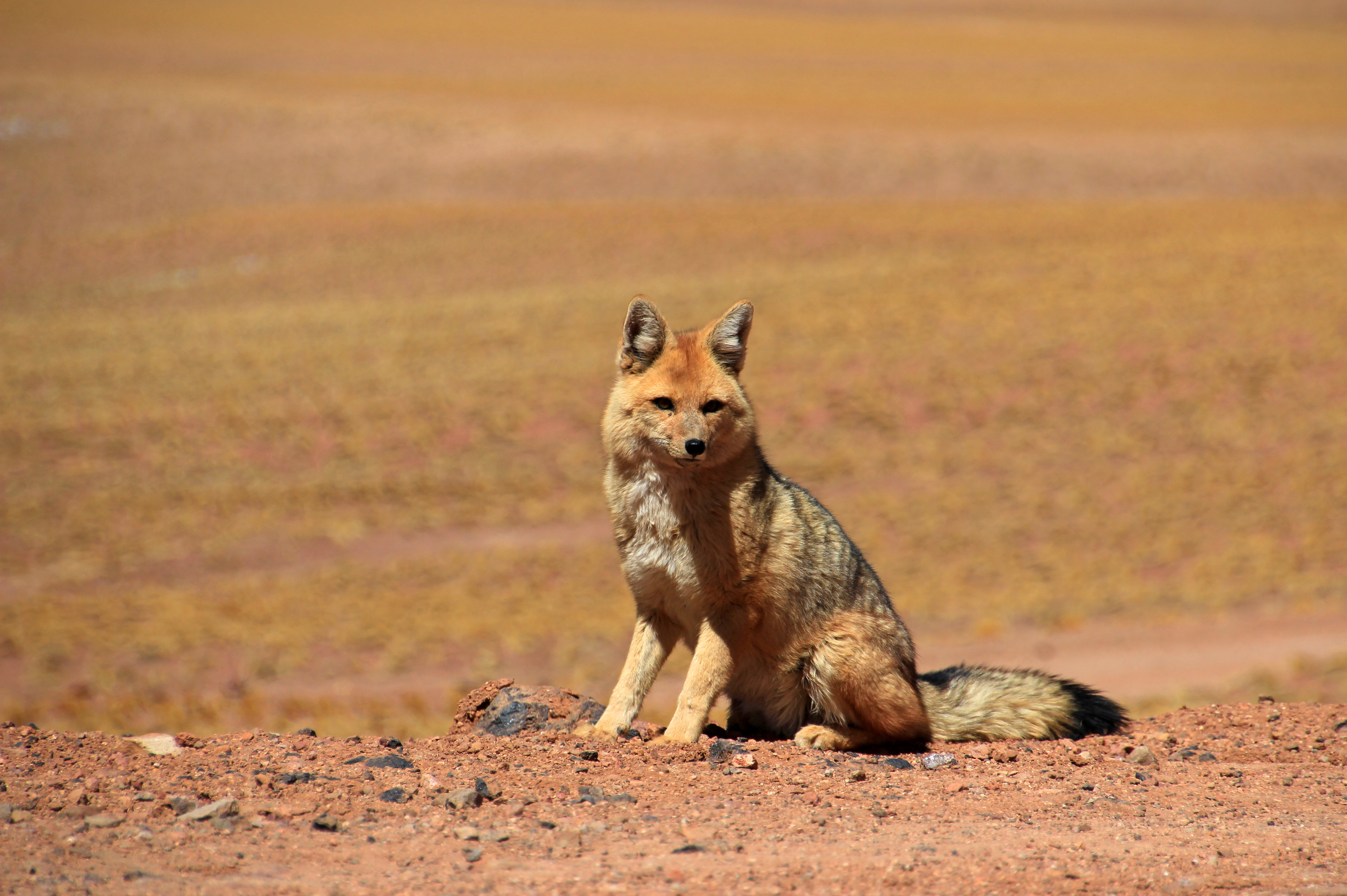 red Andean fox with sandy background