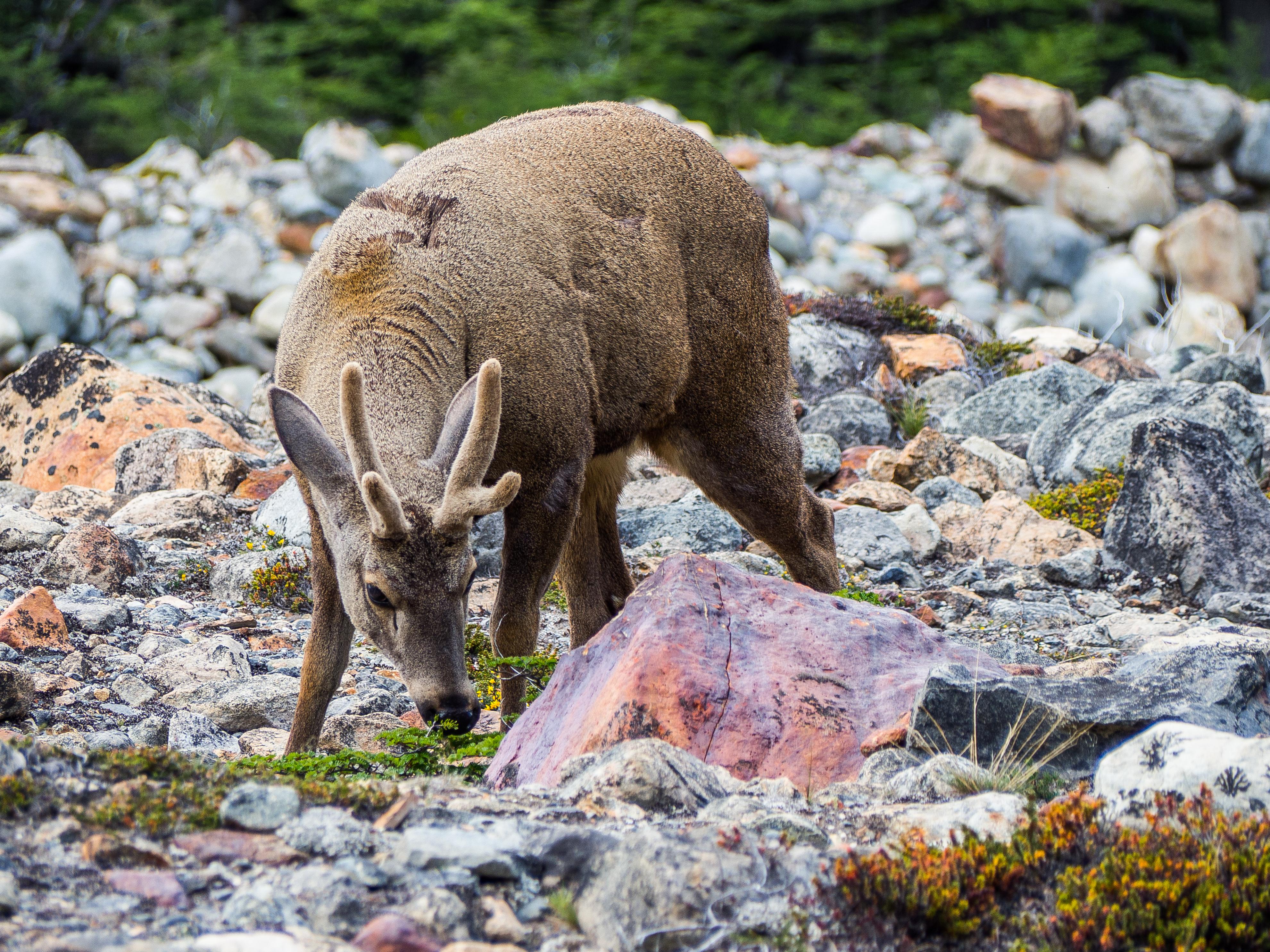 Huemul deer eating grass in Argentina Patagonia