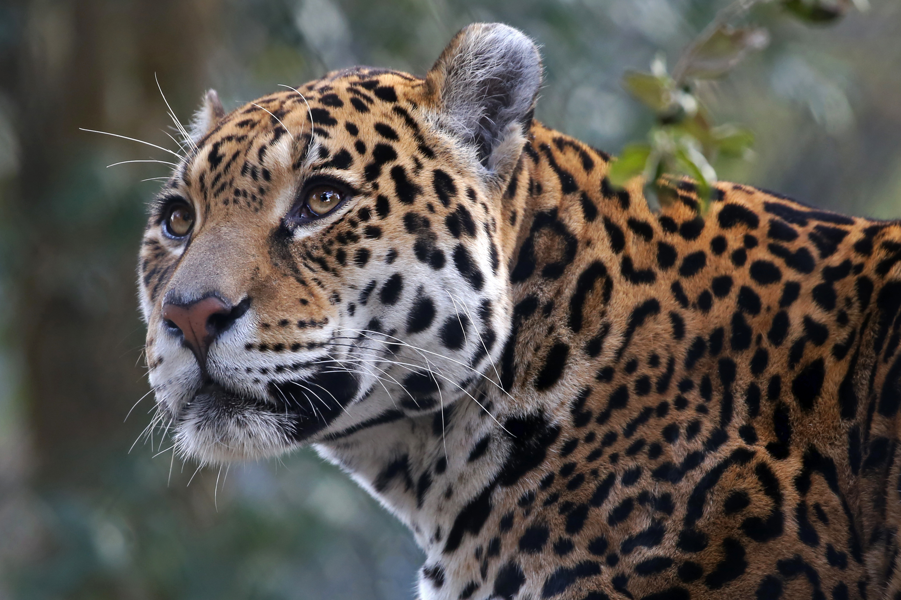 a jaguar looking ahead in a forest