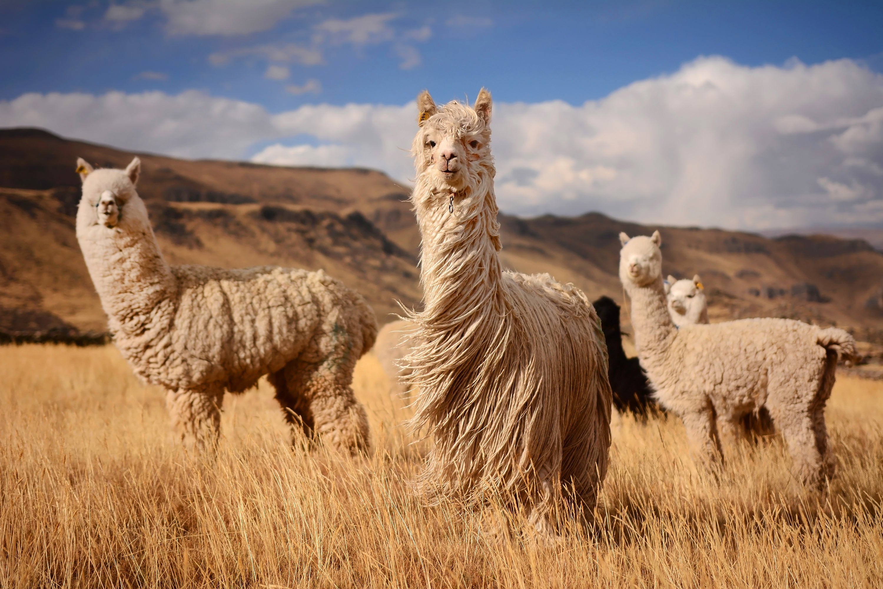 Three Long hair llamas standing with Andes Mountains in the background in Peru
