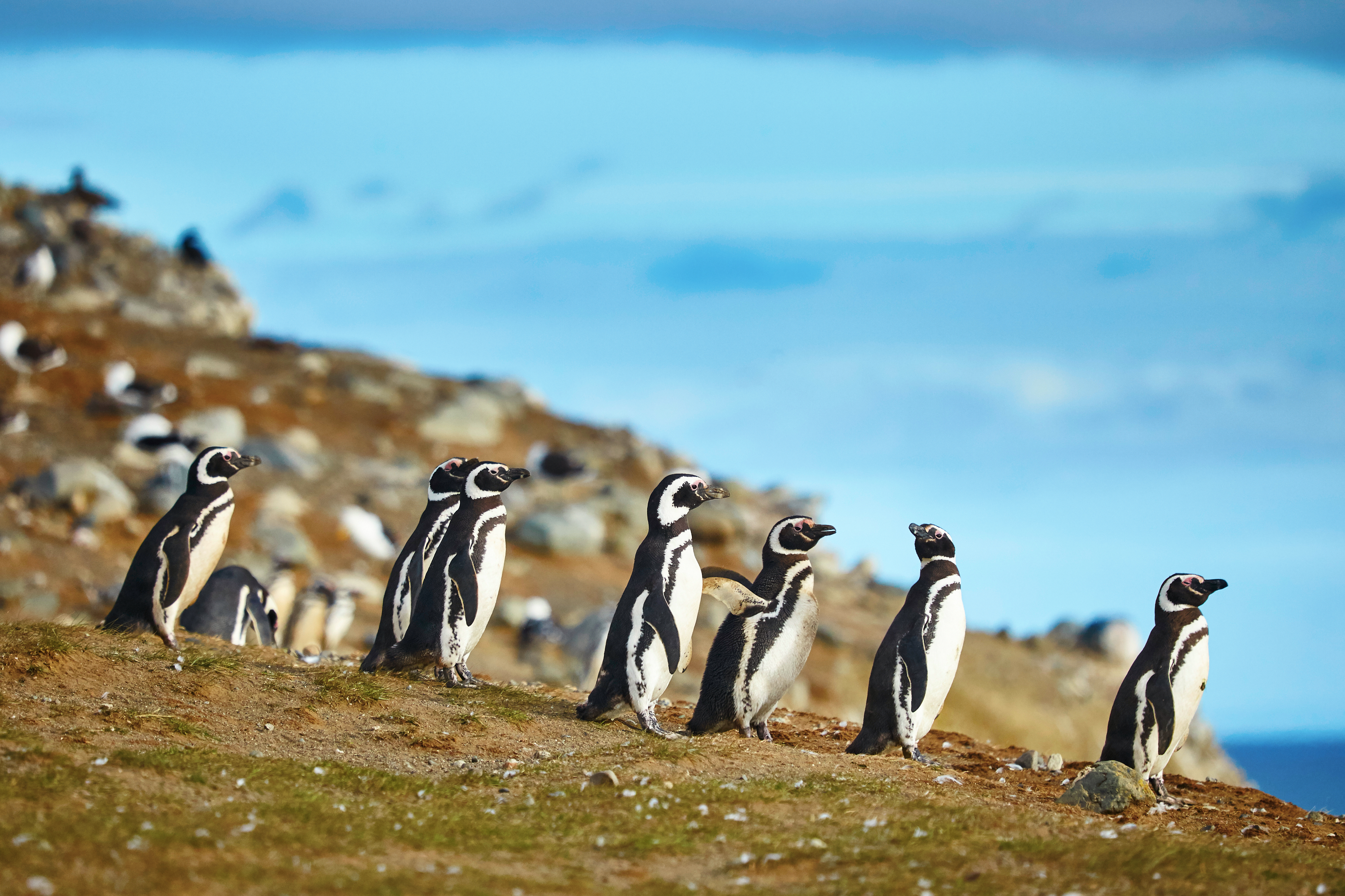 Magellanic penguins walking by the ocean on the grass in Patagonia, Chile