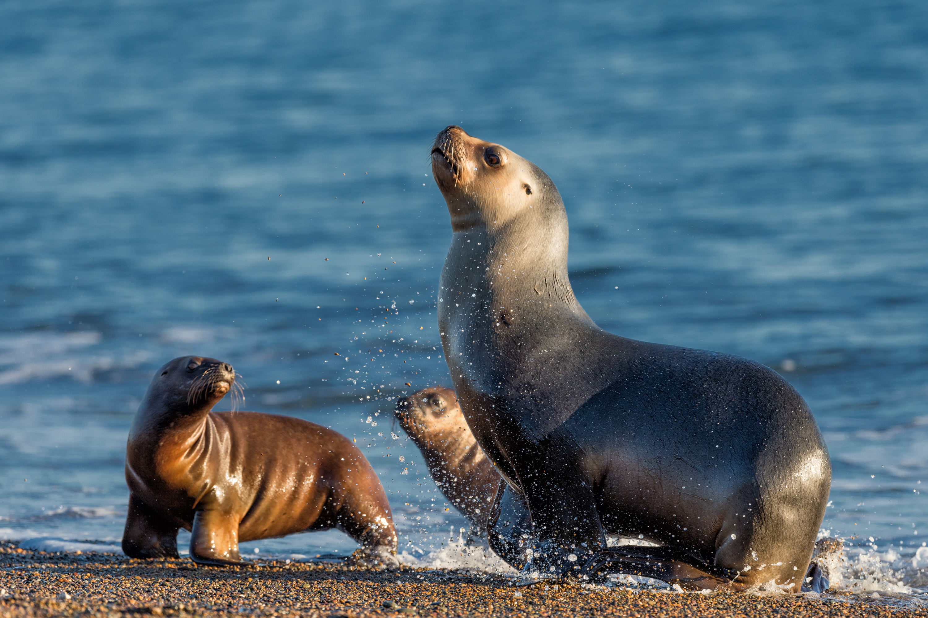 patagonia sea lion on the beach by the water