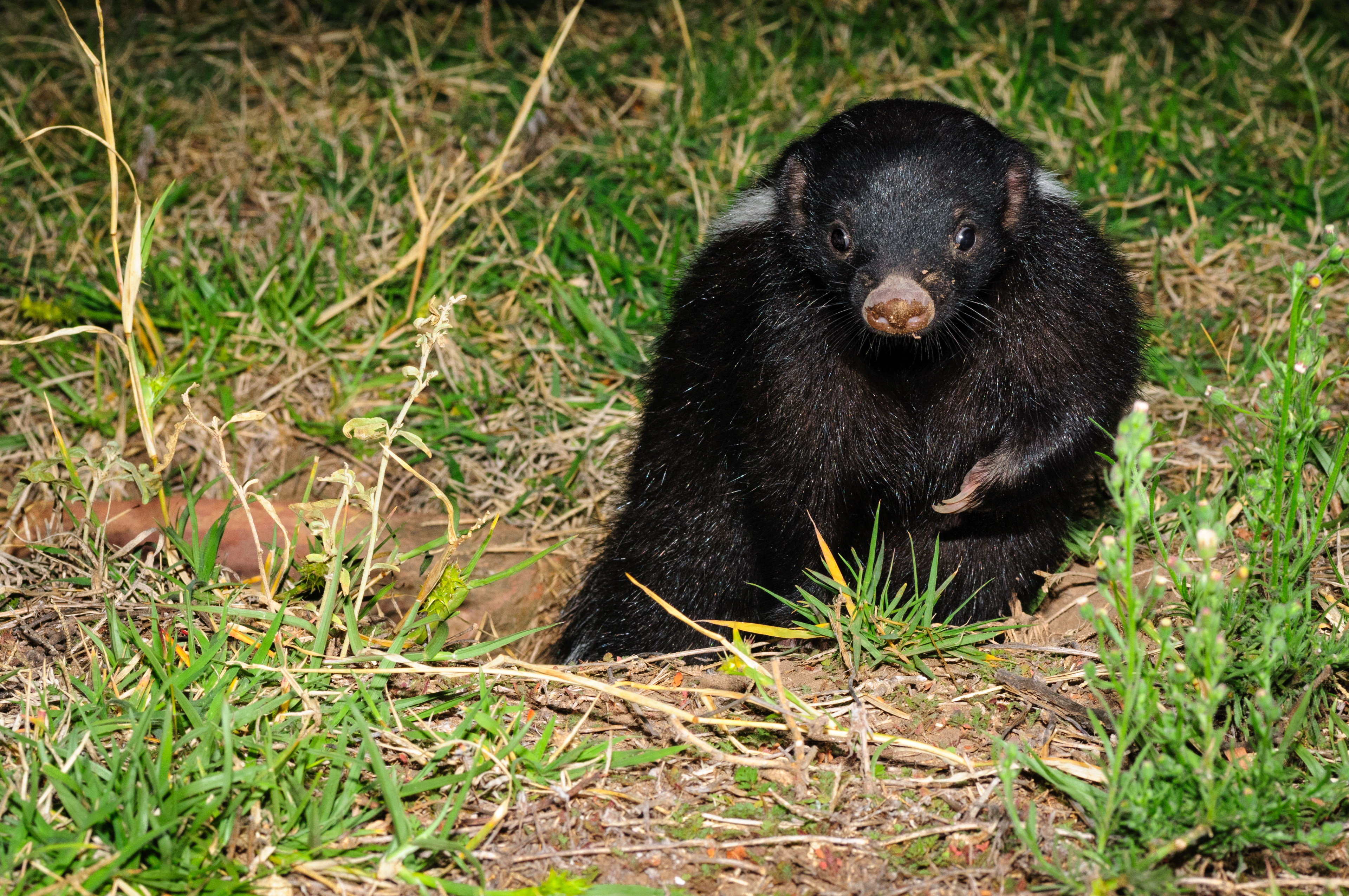 Patagonian Hog-nosed Skunk leaving his burrow.