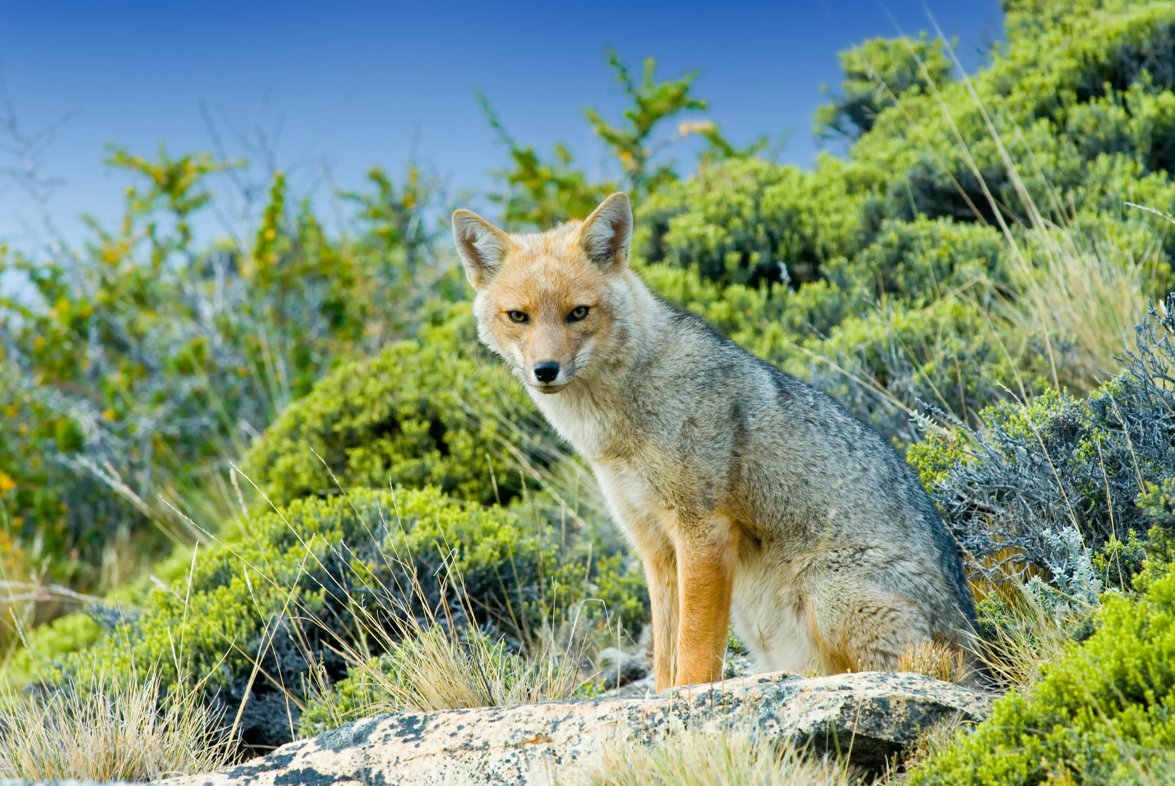 Patagonian fox sitting on grass in patagonia