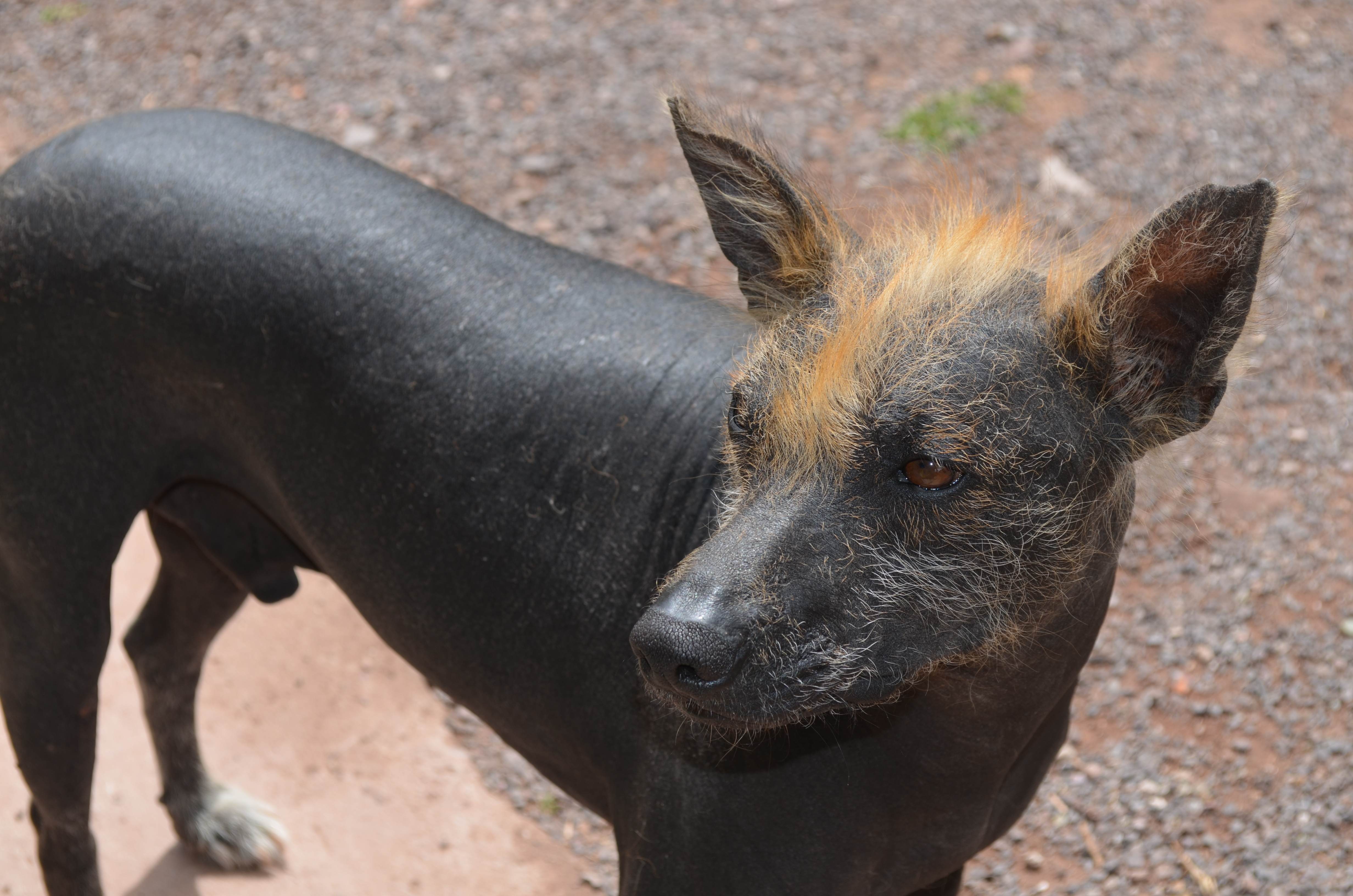 Peruvian hairless dog alone on the brown road