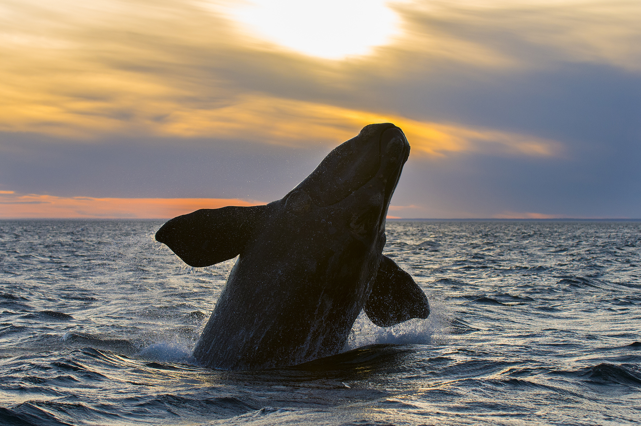 Southern Right whale at sunset in Patagonia