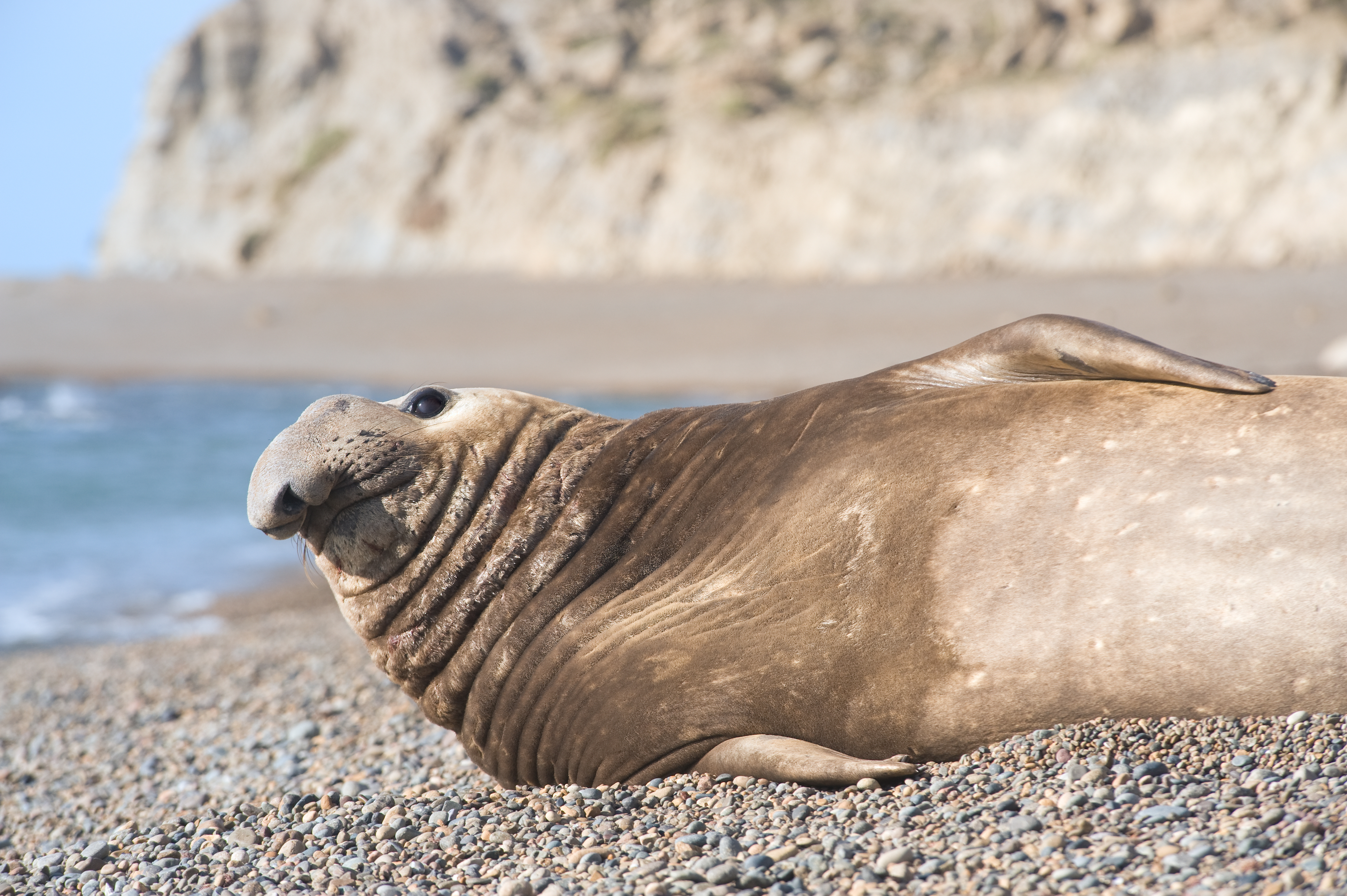 Southern elephant seal on a beach in Patagonia