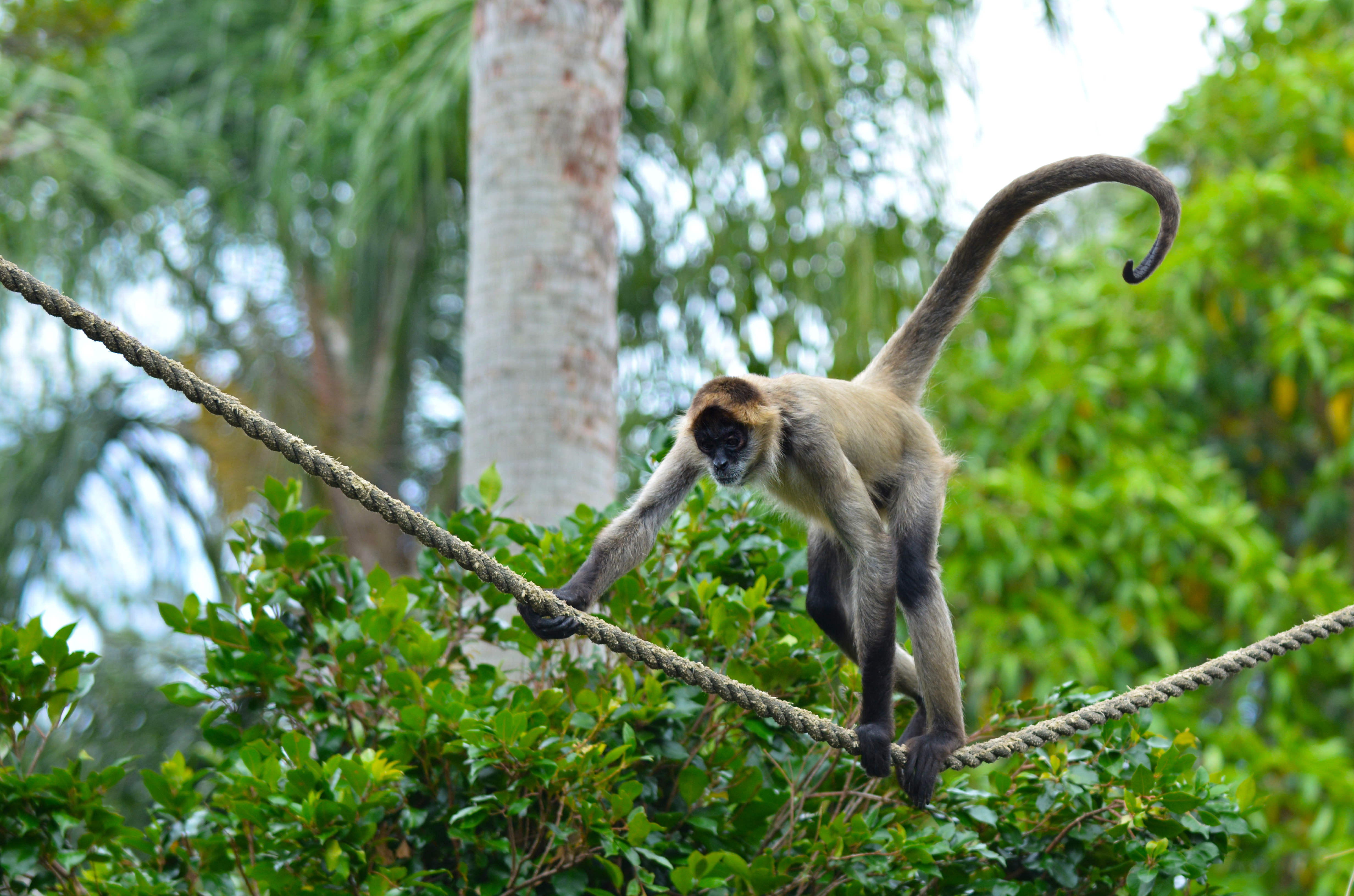 Spider monkey play on a rope in a forest