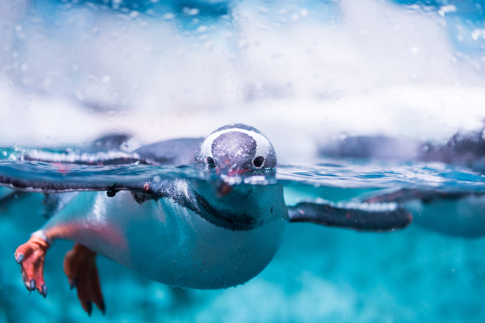penguin swimming in water
