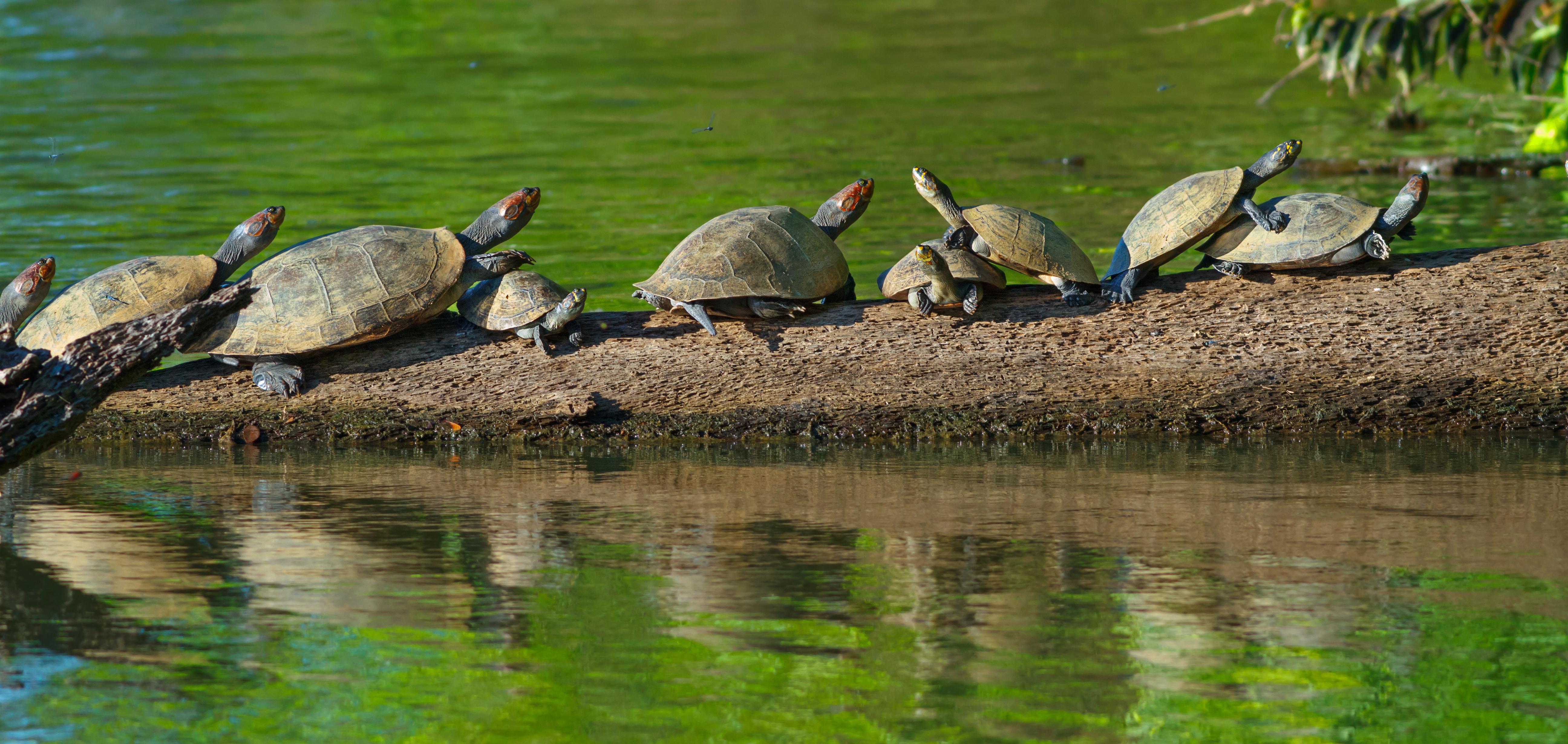 River turtles in the Amazon Tambopata national park, peru