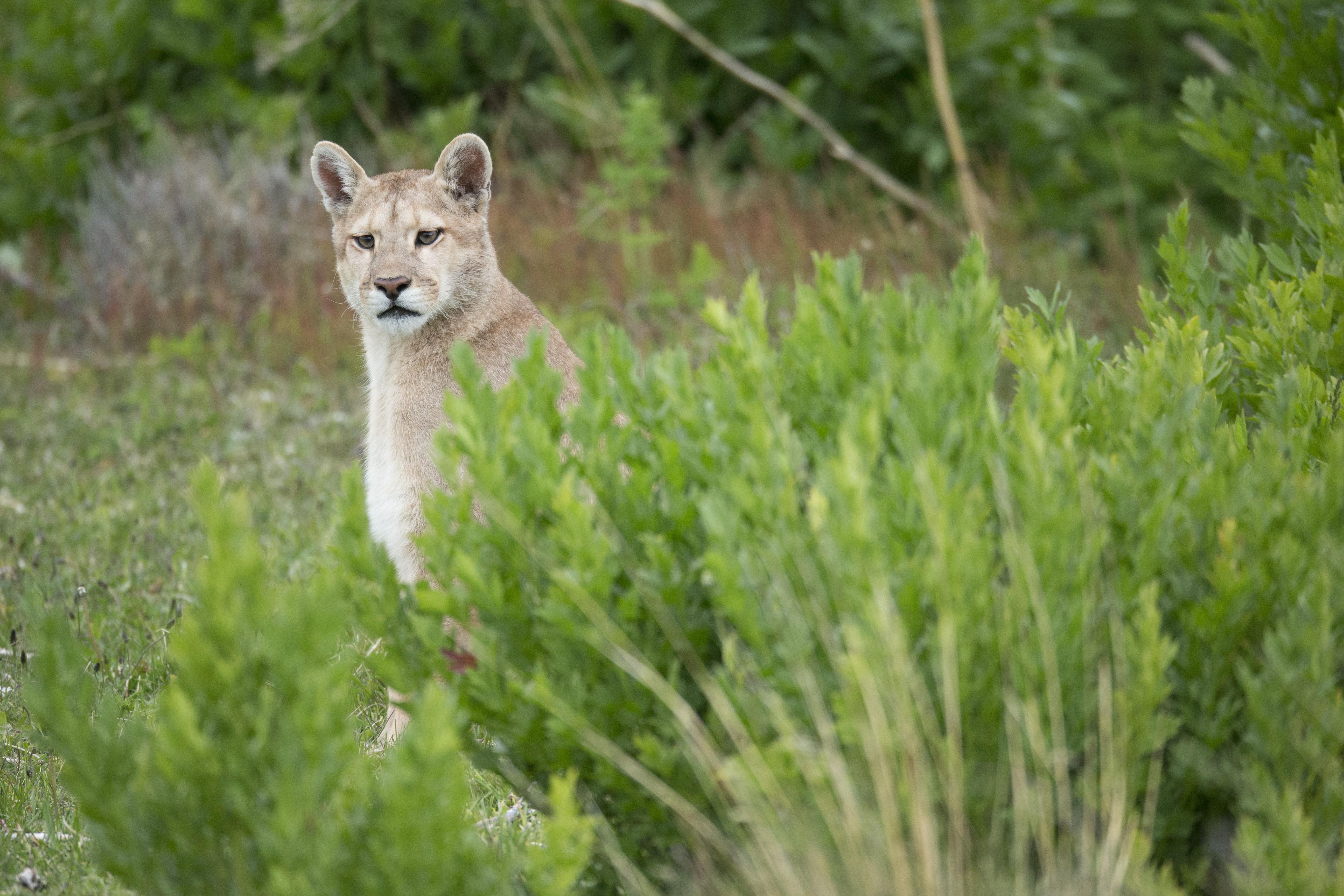 Wild Puma in Torres del Paine