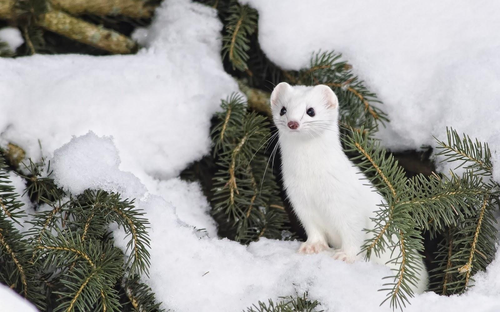 Arctic Animals - Ermine