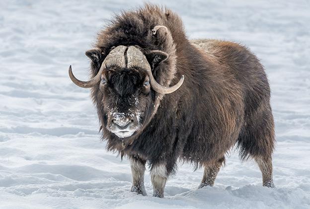 Arctic Animals - Musk Oxen