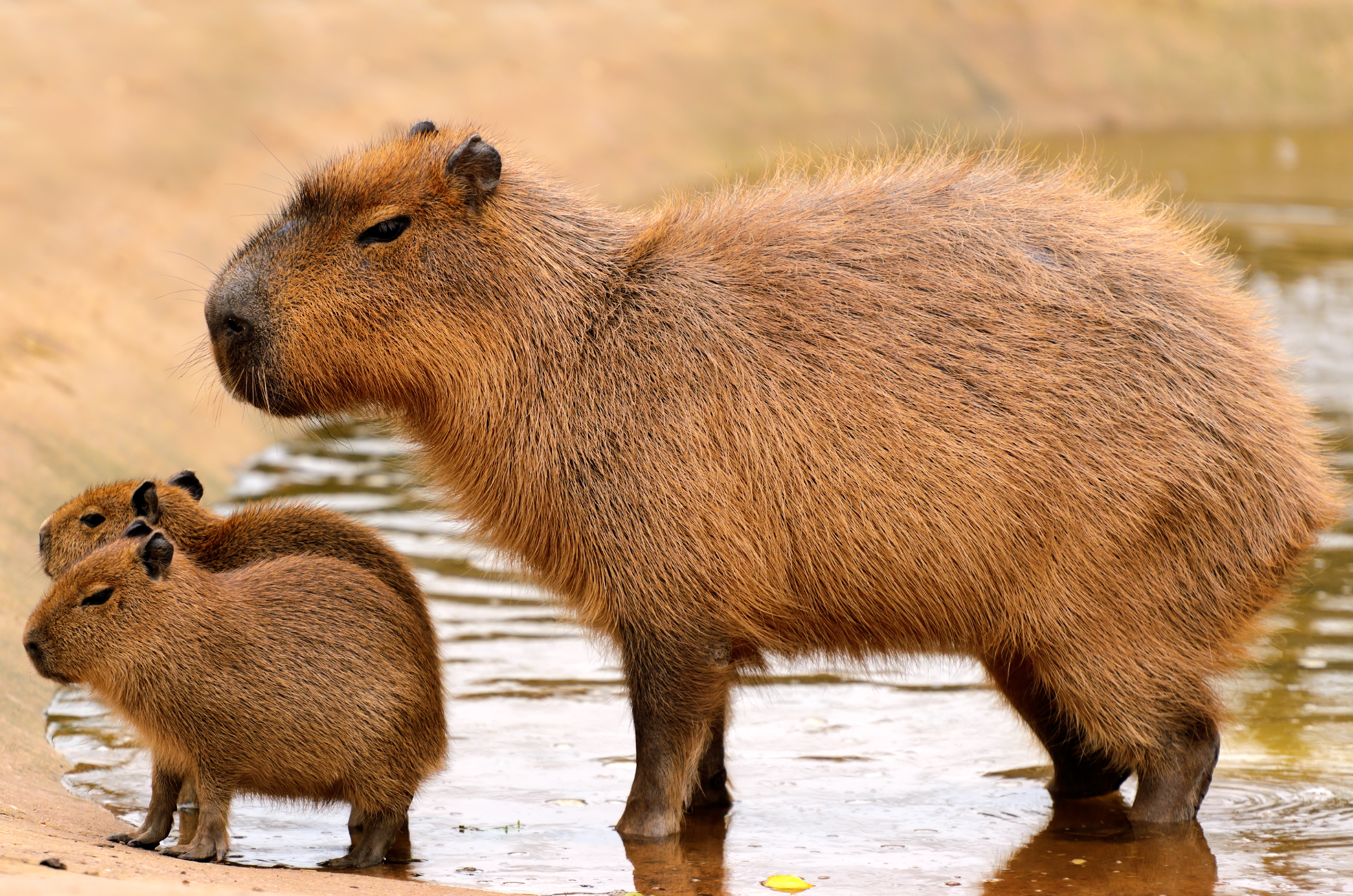 A Capybara and two babies