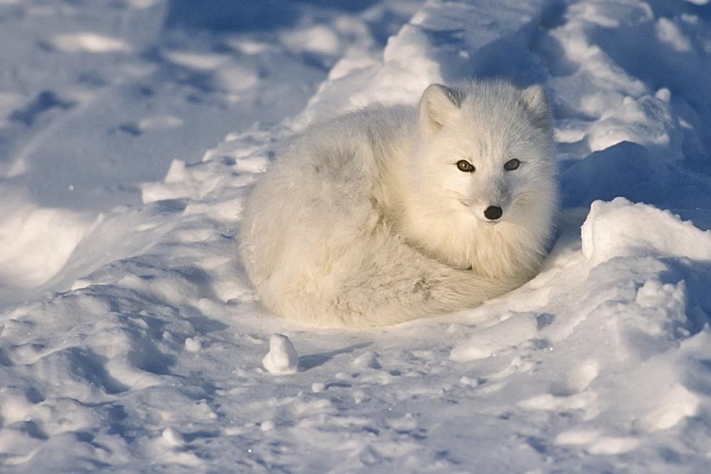 Wildlife, Arctic