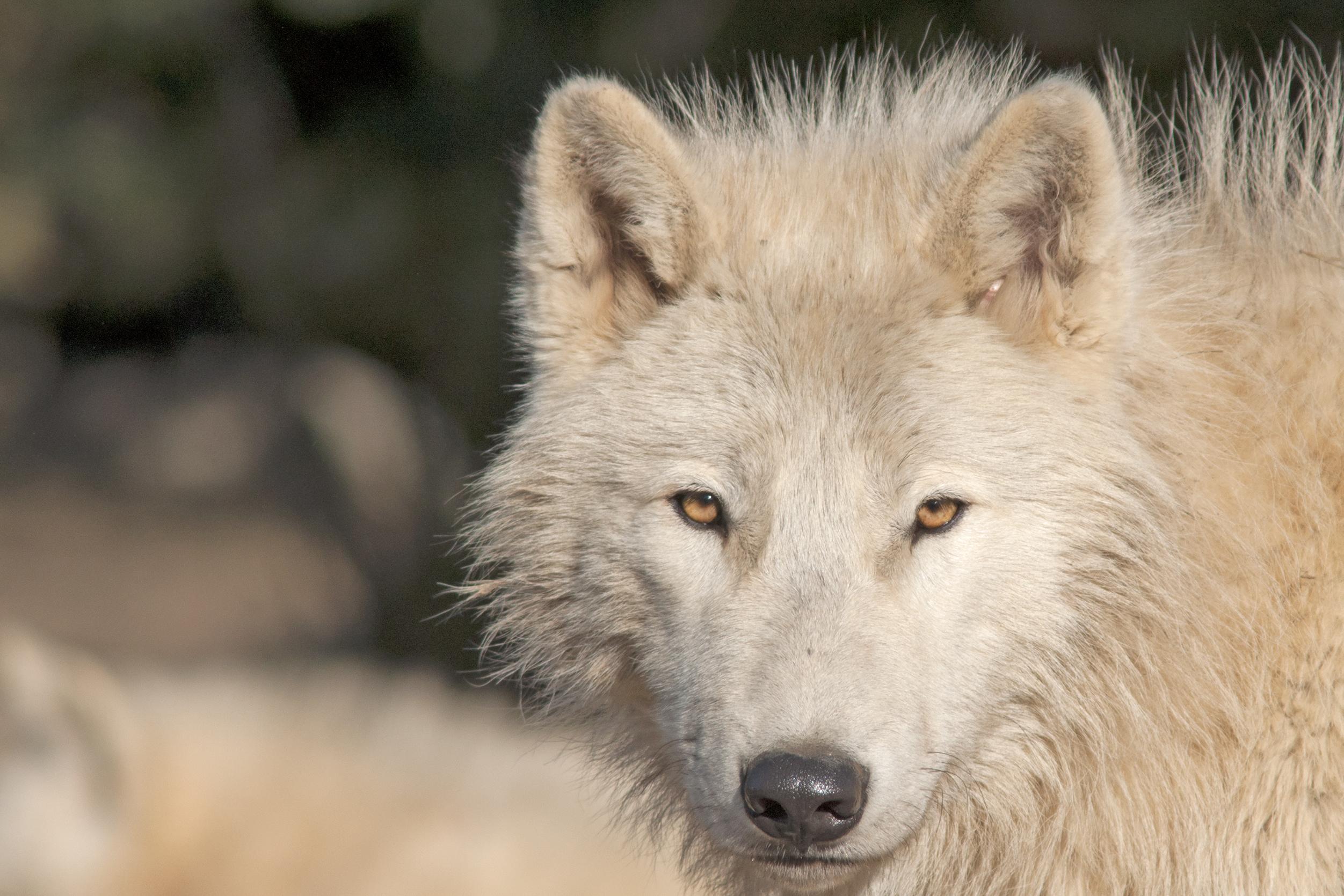 An Arctic wolf close up