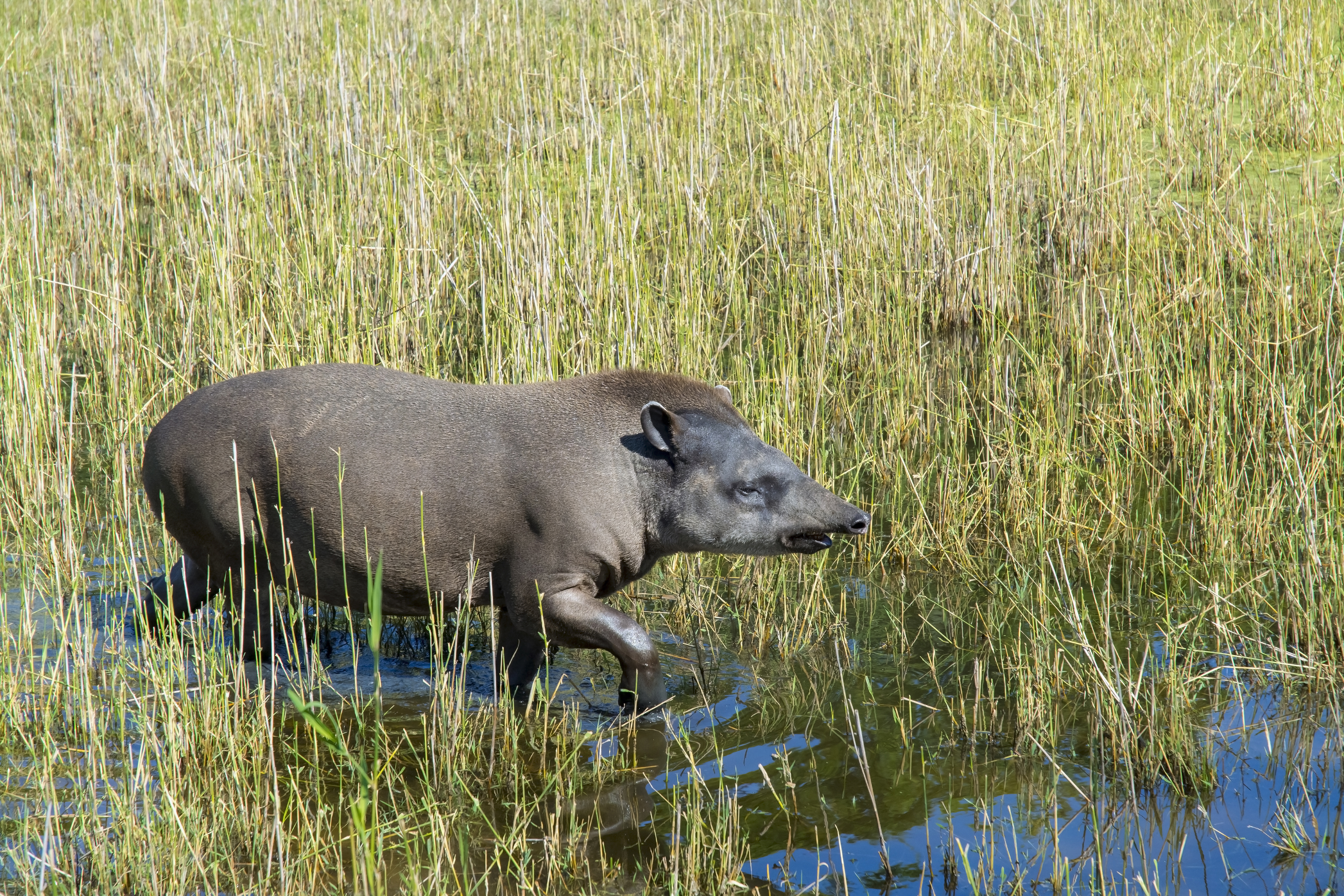 Lowland Tapir in the wild.