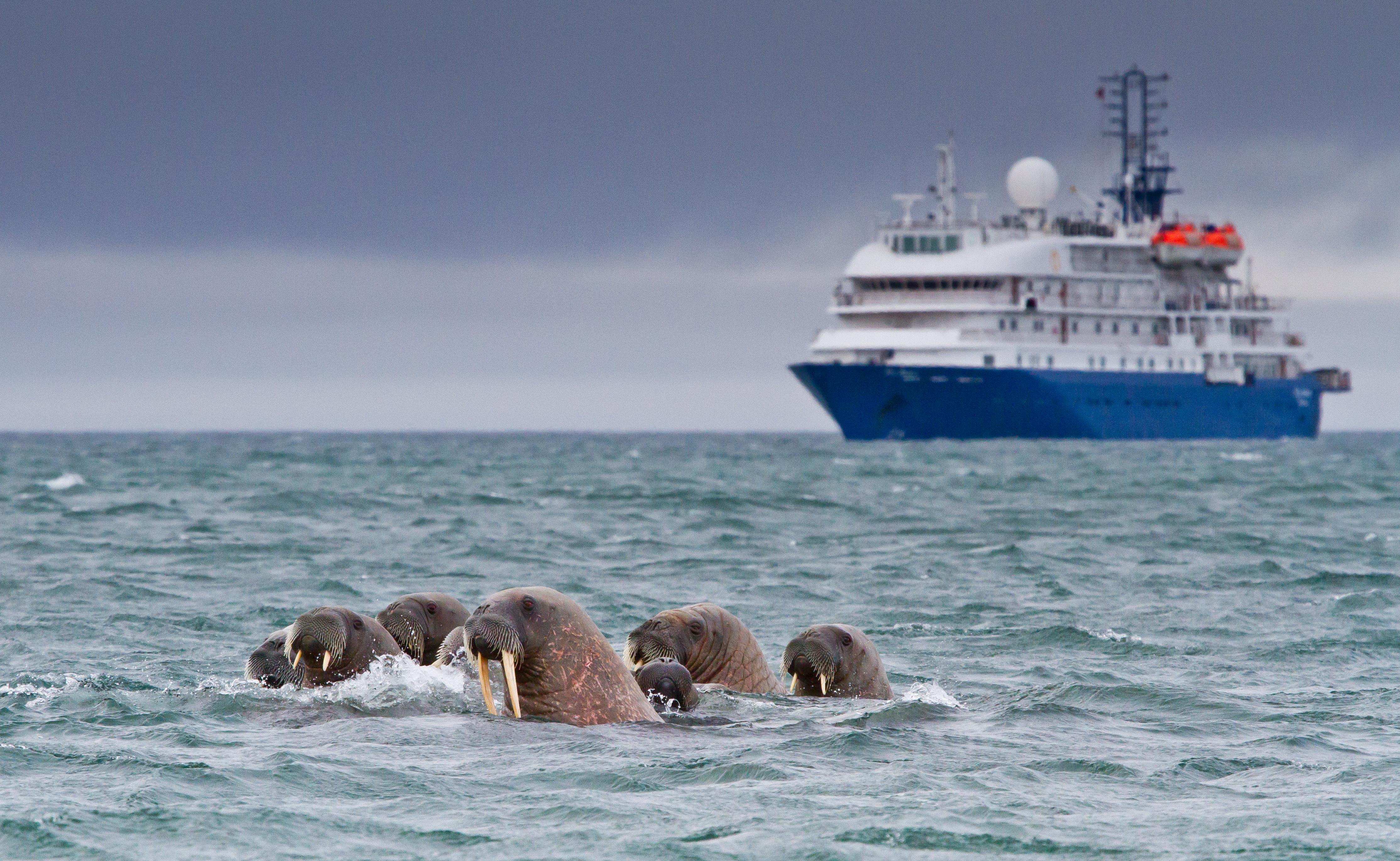 Walruses in the ocean