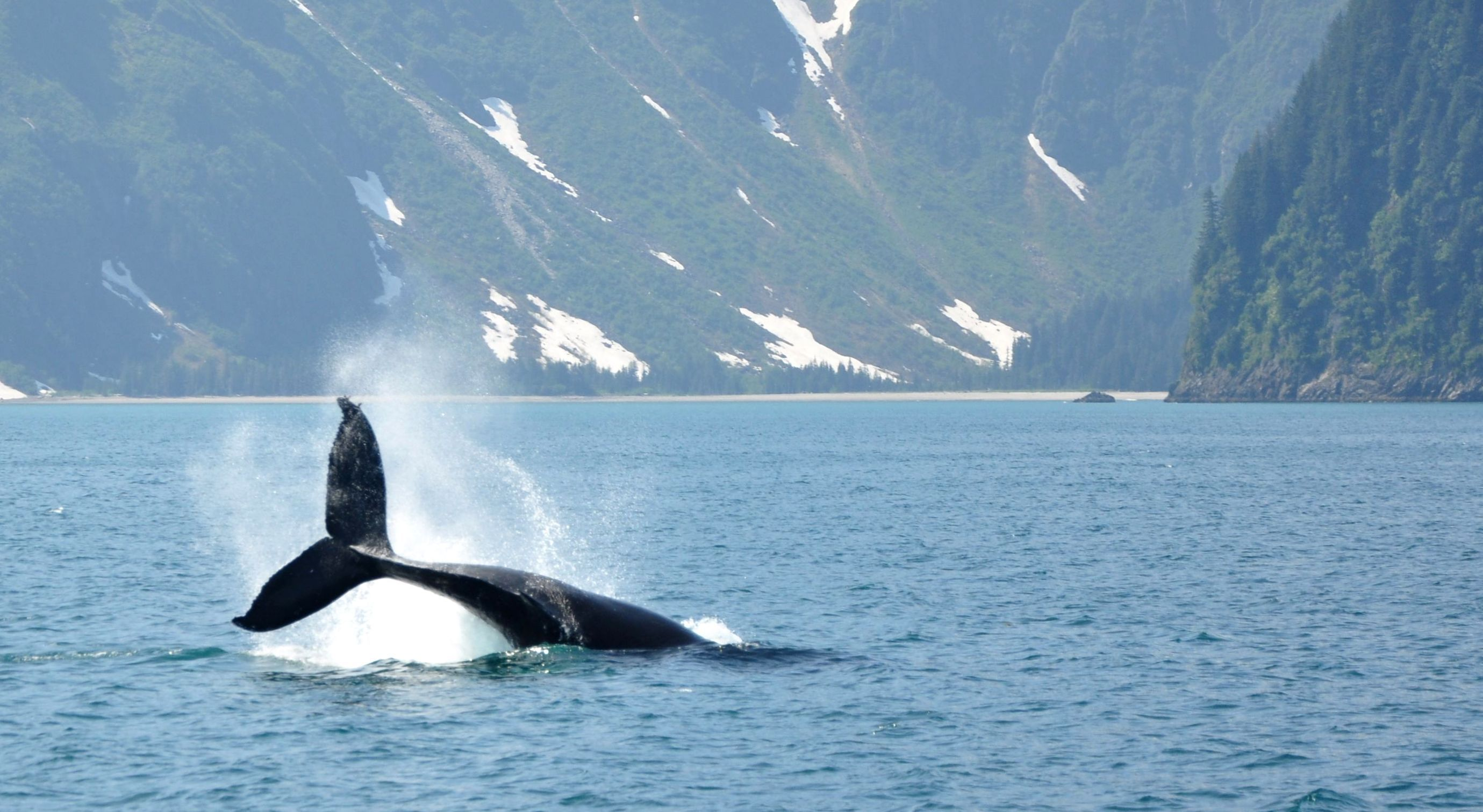 A whale tail emerges out of Arctic waters