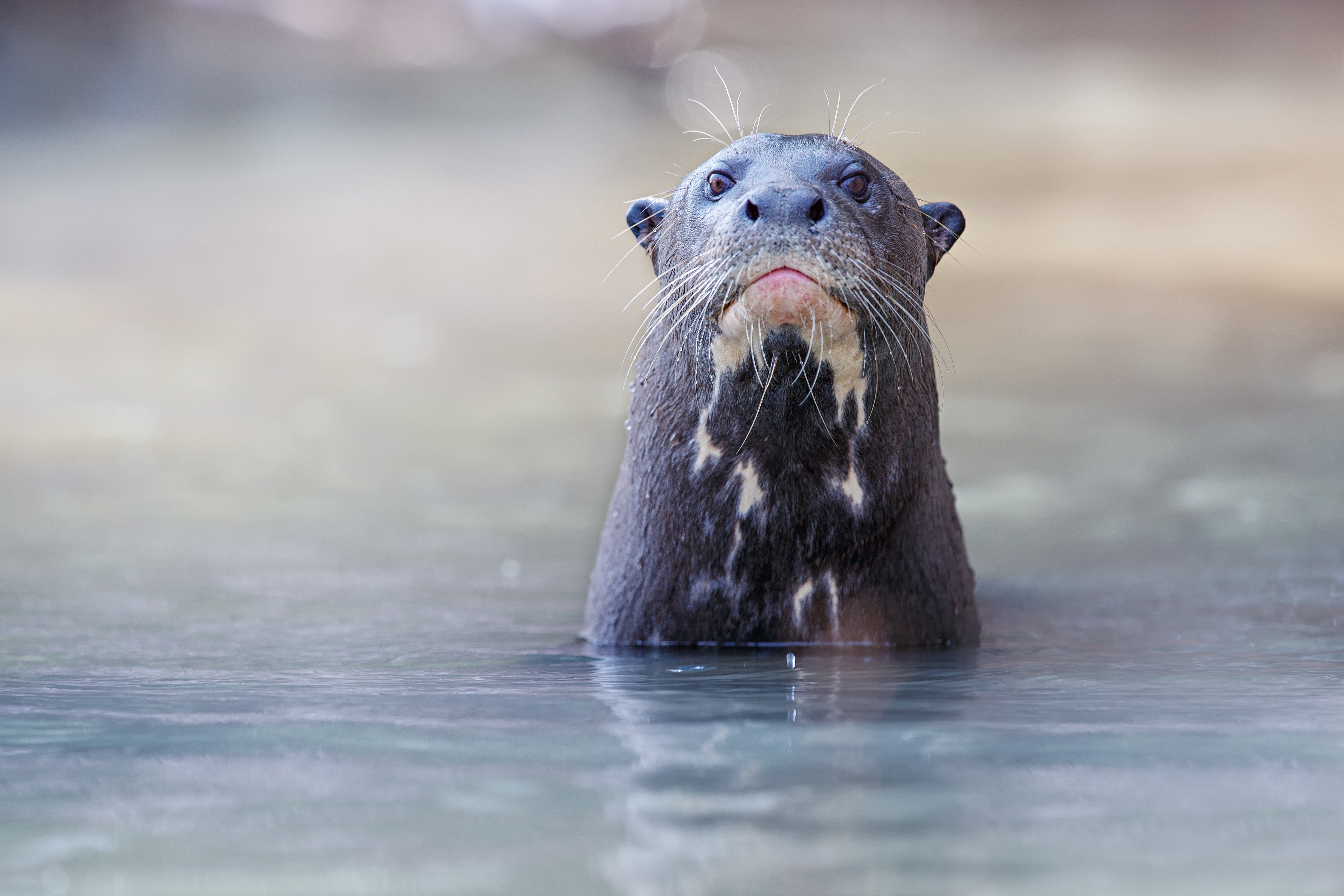Giant River Otter.