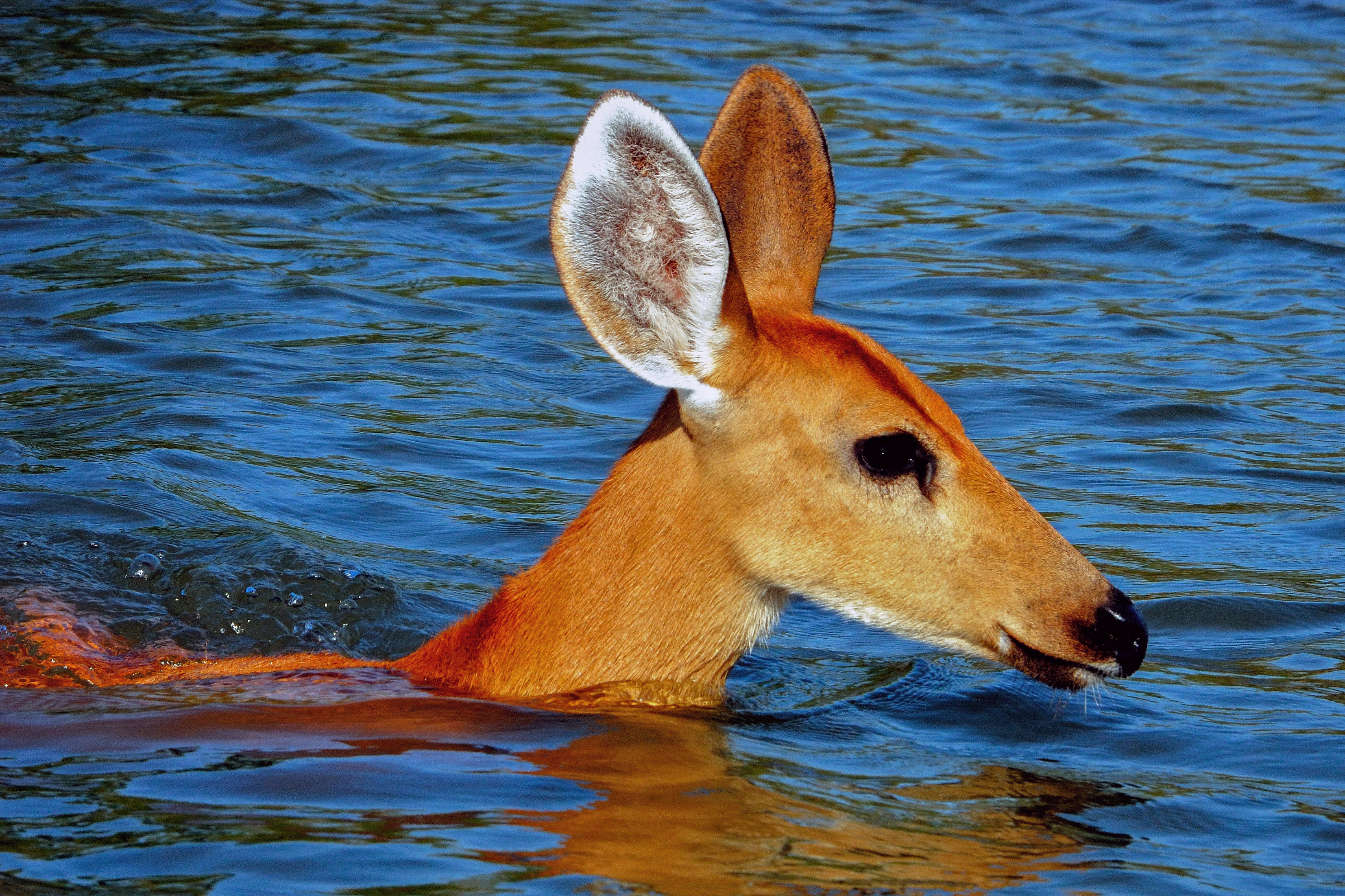 Marsh Deer in the water.