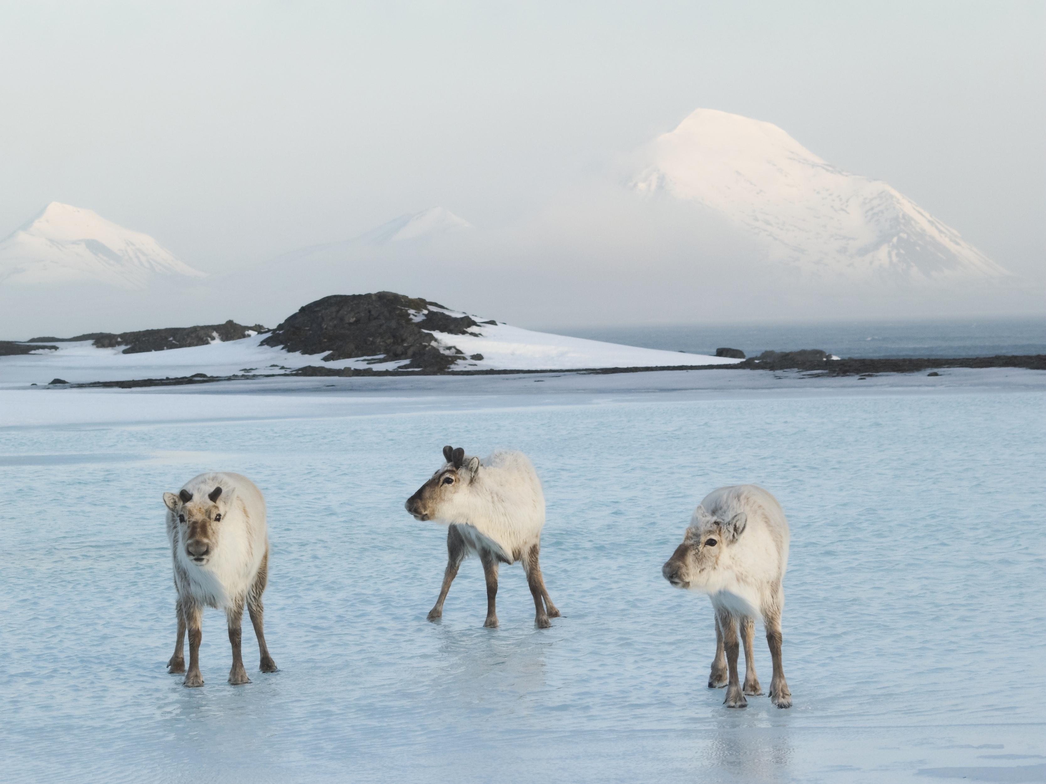 Arctic Animals - wild reindeer