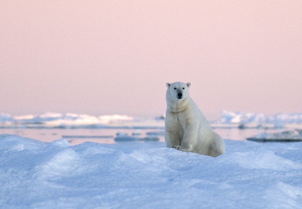 Polar bear on Wrangel Island.