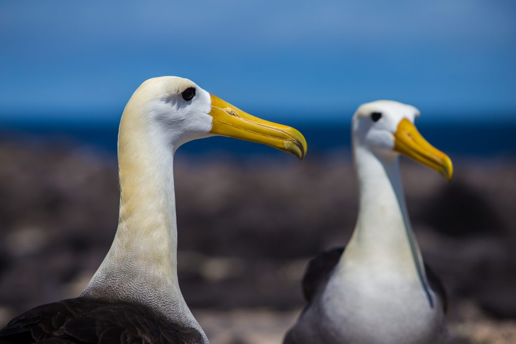 Albatross, Galapagos Islands