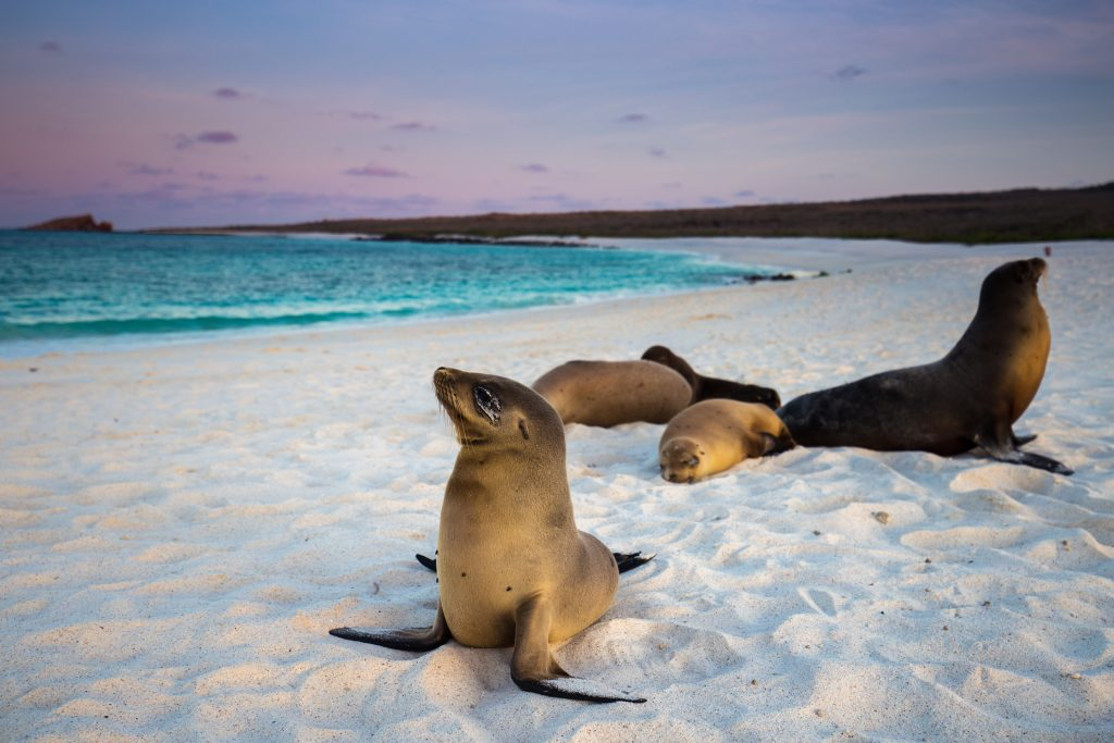 Sea Lions of Galapagos on the sand