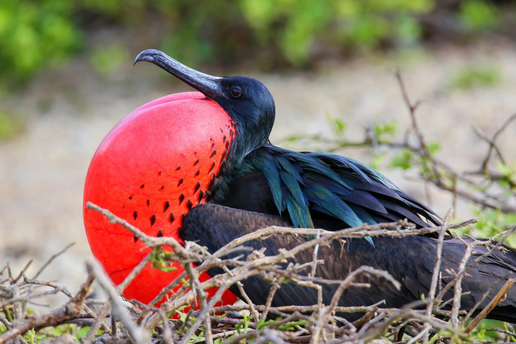 Male Great Frigatebird (Fregata minor) on Genovesa Island, Galapagos National Park, Ecuador - Island Guide
