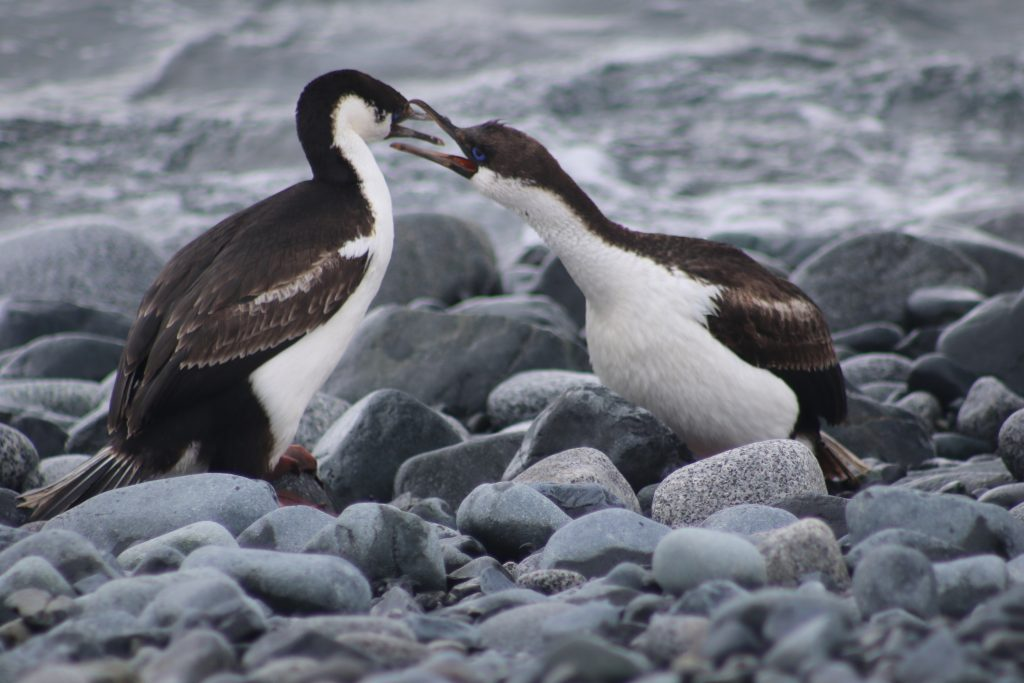 Blue eyed shags relaxing by a pebbled shore.