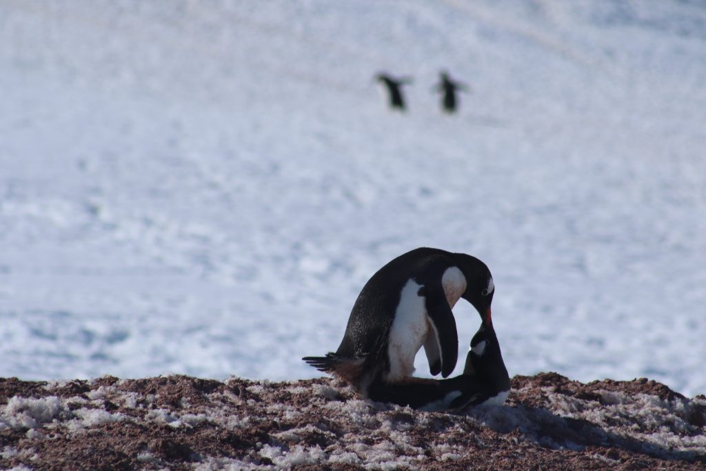 Gentoo Penguins mating