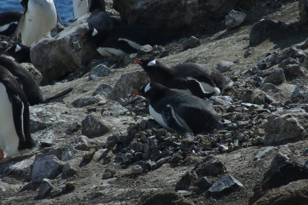 November is the time when Gentoo Penguins tend to their nests