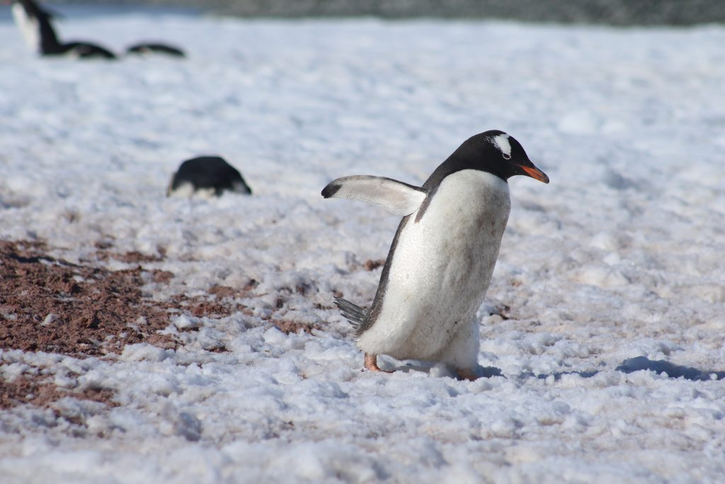 Gentoo penguin passes a pile of penguin poo