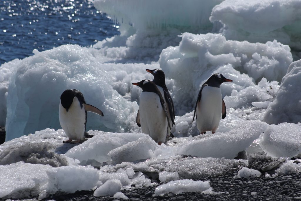 Gentoo Penguins surrounded by clean ice