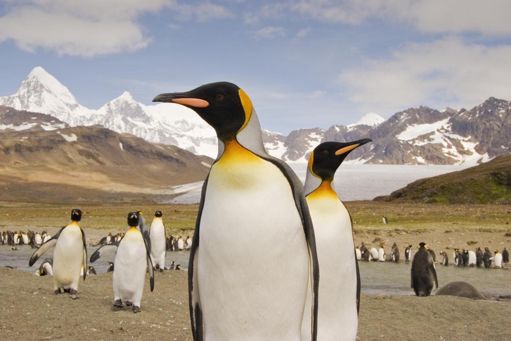 Penguins in South Georgia, Chimu Adventures