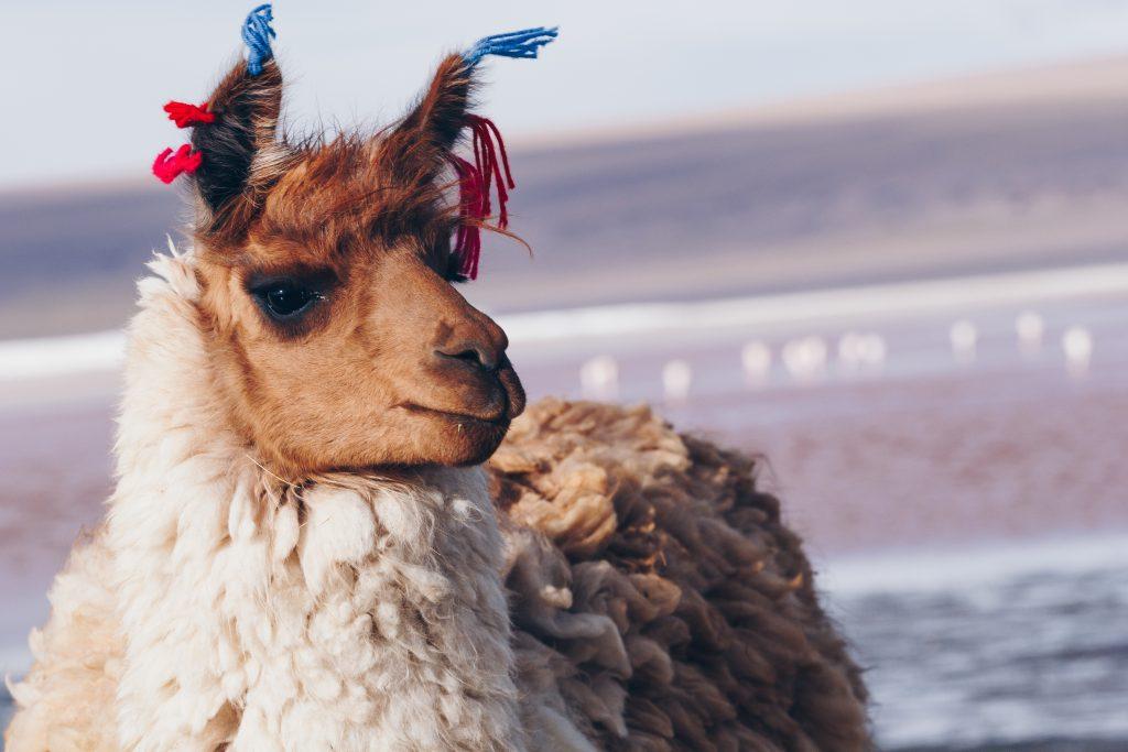 Llama standing on the Laguna Colorada, Bolivia