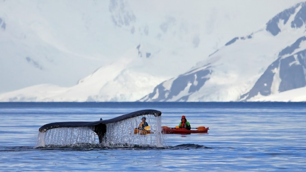 Whale in front of kayaks and Antarctic Peninsula