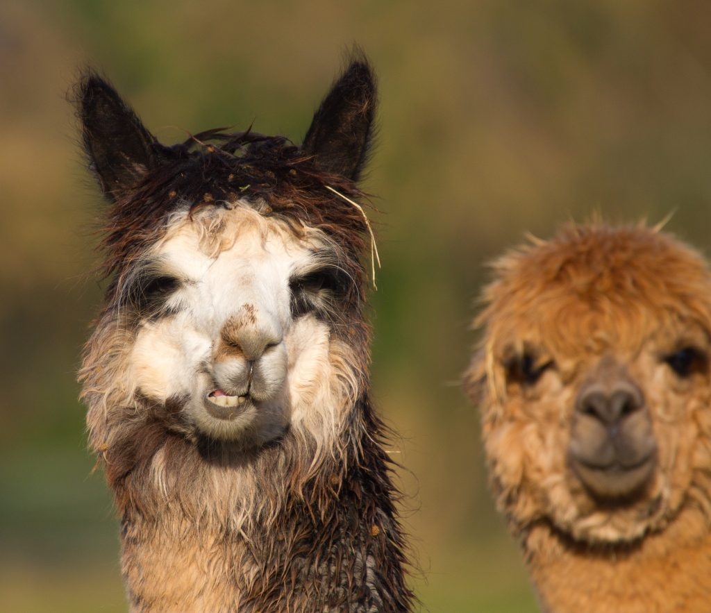 Alpaca who resemble a small llama in appearance and whose wool used for making knitted and woven items such as blankets, sweaters, hats, gloves and scarves. Credit: Shutterstock