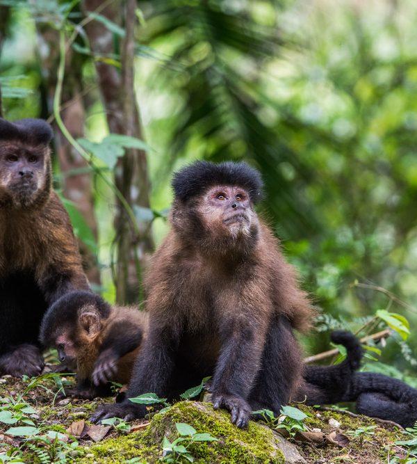 Brazil_,monkey credit shutterstock