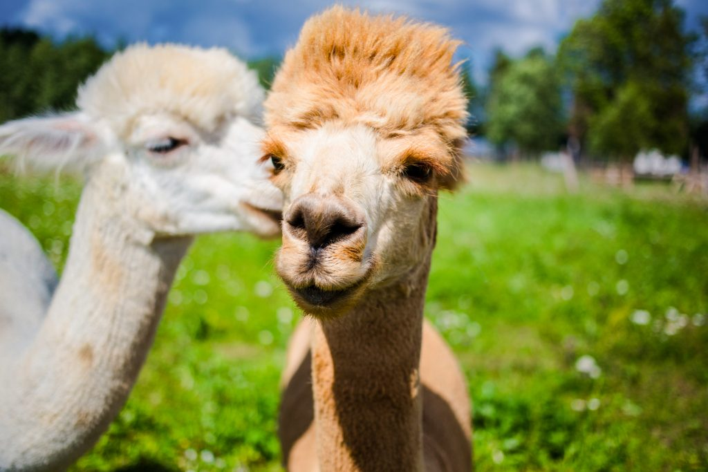 close up portrait of two cute friendly alpacas, that seem to be talking to each other. credit shutterstock