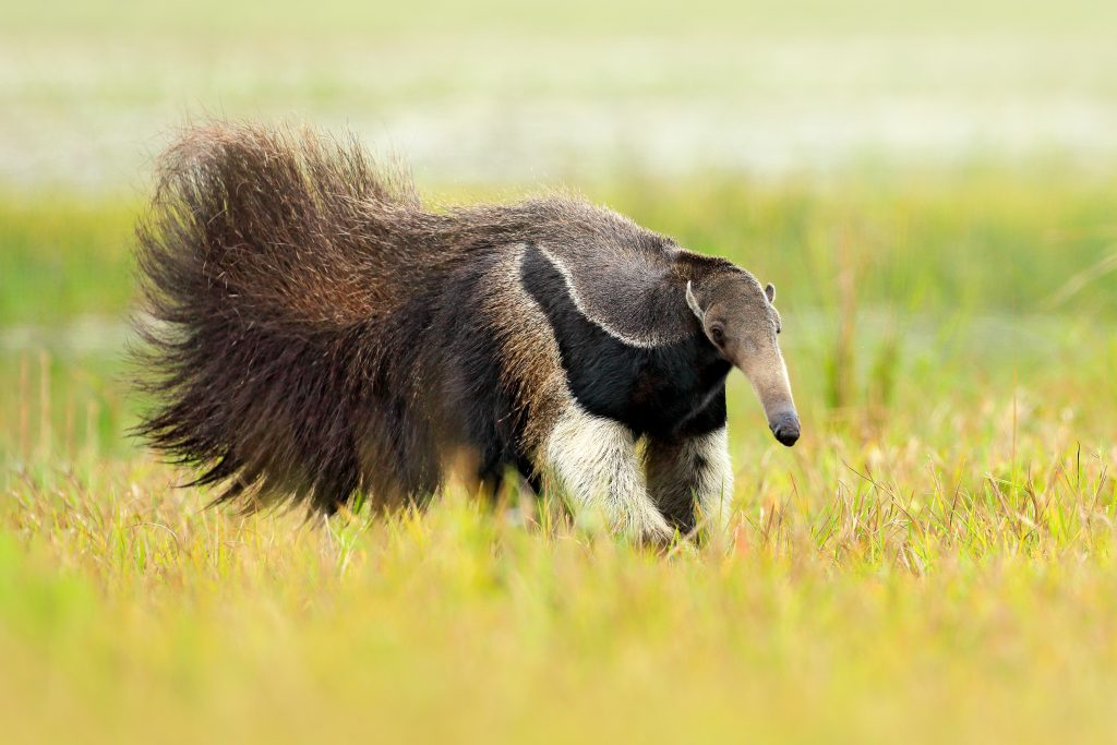 Anteater, cute animal from Brazil. Giant Anteater, Myrmecophaga tridactyla, animal with long tail and log muzzle nose, Pantanal, Brazil. Wildlife scene, running in pampas. Credit Shutterstock