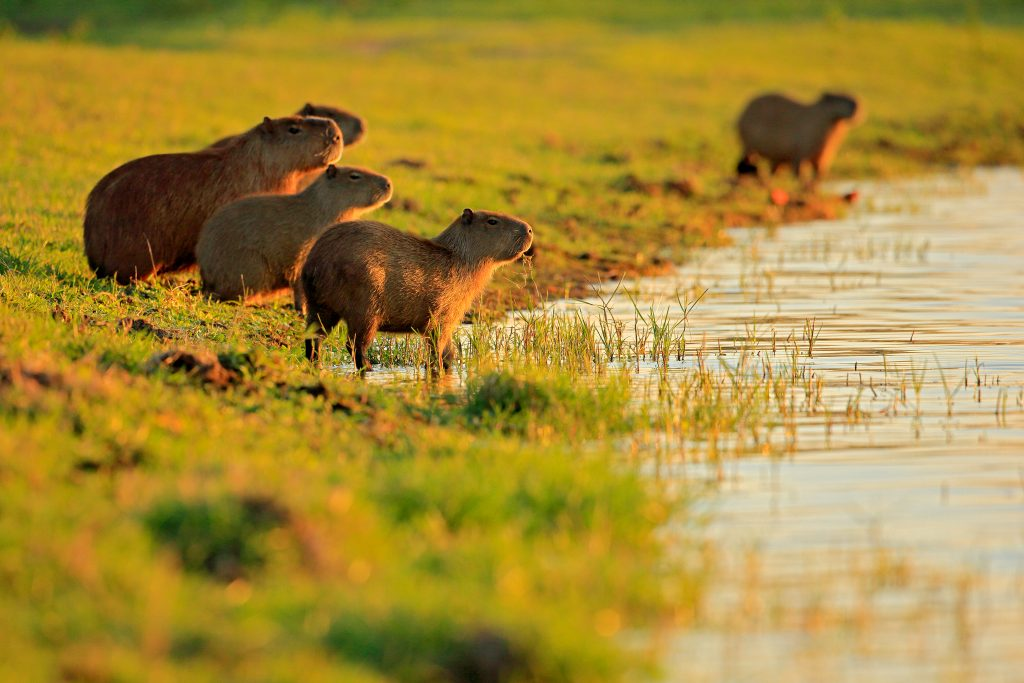 Capybara, family with youngs, biggest mouse in the water with evening light during sunset, Pantanal, Brazil. Wildlife scene from nature. Big mammals by the lake. Credit Shutterstock