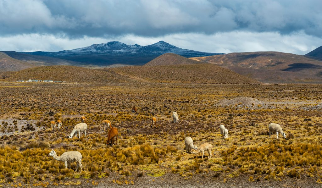 Dramatic landscape in the Andes mountain range between the Colca Canyon and Arequipa with vicunas, llamas and alpacas grazing at an altitude of 4800m high. credit shutterstock