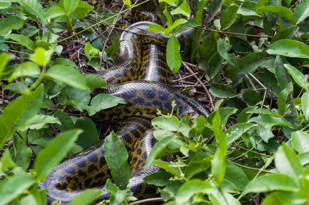 Sucuri in green forest in Brazilian Pantanal Credit Shutterstock
