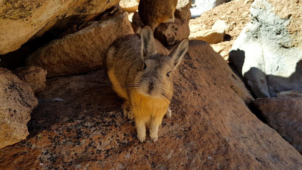 Viscacha, similar to chinchillas credit shutterstock